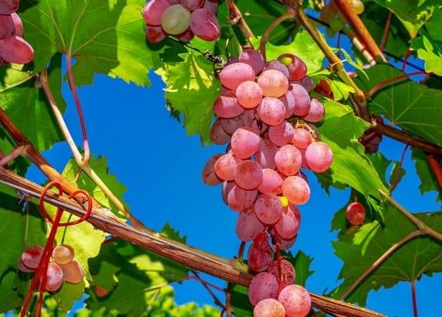 Antioxidant natural - Antioxivita