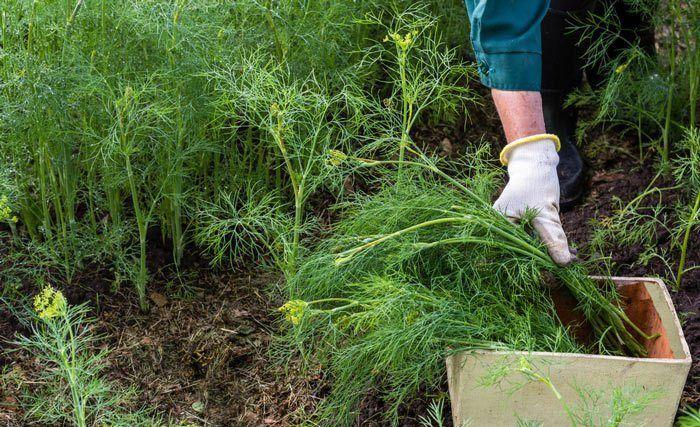 Cum se cultiva mararul?