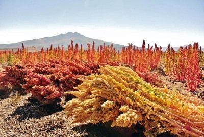 Informatii generale despre quinoa